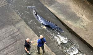 A young whale stuck in the River Thames is seen in this image obtained from social media in London, Britain