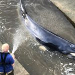Euthanasia for a stray whale on the River Thames in London
