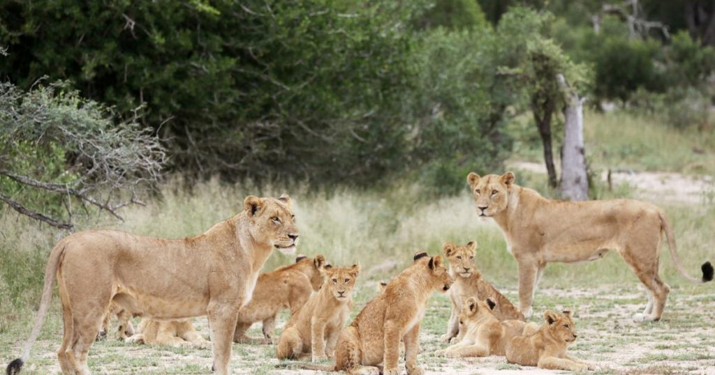 """Going out for """"out of the box"""" lions: South Africa wants to stop the multiplication of hunted prey"""