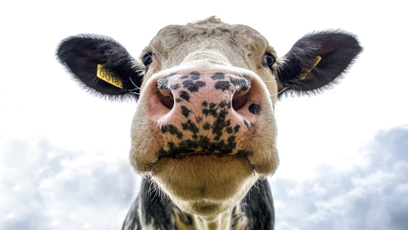 Methane diffusion begins in cattle »LeaderNet