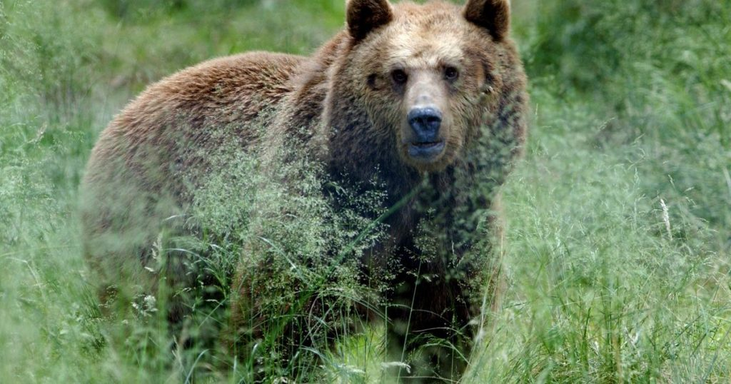 A man was killed by a brown bear in Slovakia