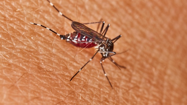 Asian tiger mosquito: It can be recognized by its black and white striped appearance.  (Source: Getty Images / RasikaSekhara)