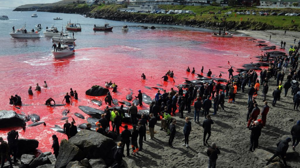 52 whales were taken to a bay in the Faroe Islands and killed