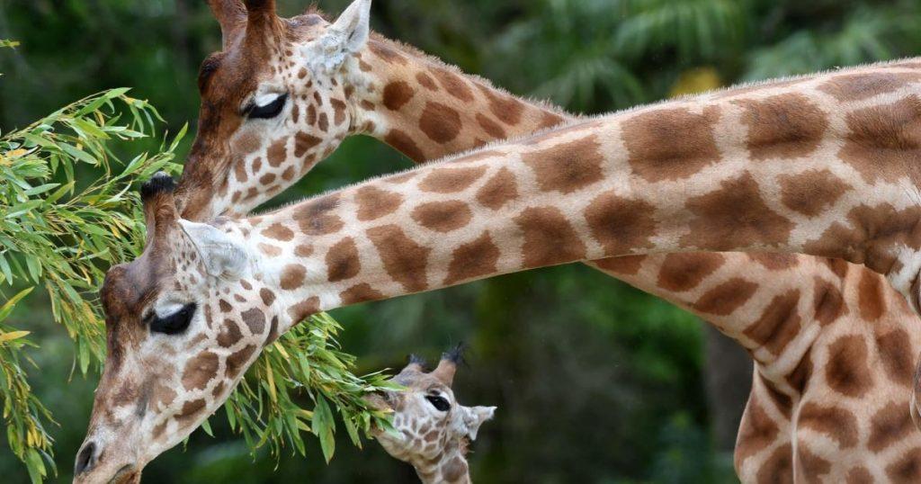 How does male giraffes prevent inbreeding?