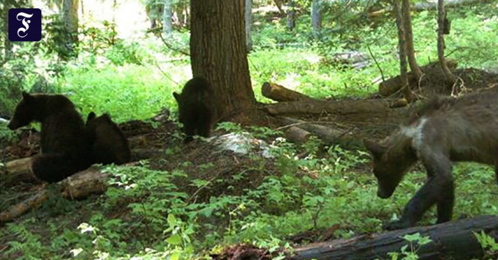 An American woman has to go to prison to take close-up pictures of bears